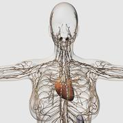 Medical illustration of female lymphatic system with heart. Stock Illustration