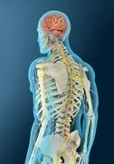 Stock Illustration of Medical illustration of human brain and brain stem.