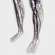 Medical illustration of arteries, veins and lymphatic system in human legs. Stock Illustration