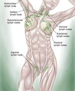 Anatomy of superficial (surface) lymphatics. - stock illustration