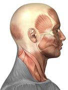 Anatomy of human face muscles, side view. - stock illustration
