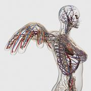 Medical illustration of arteries, veins and lymphatic system in female chest. - stock illustration