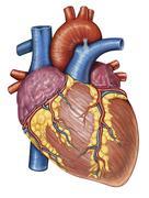 Gross anatomy of the human heart. Stock Illustration