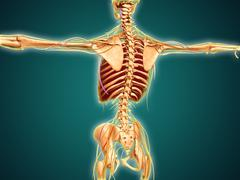 Back view of human skeleton with nervous system, arteries and veins. - stock illustration