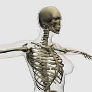 Three dimensional view of female rib cage and skeletal system. Stock Illustration