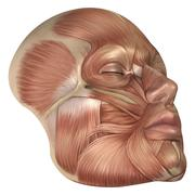 Anatomy of human face muscles. Stock Illustration