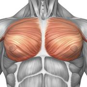Anatomy of male pectoral muscles. Stock Illustration