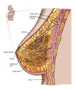 Anatomy of the female breast. - stock illustration