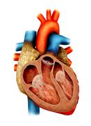 Stock Illustration of Anatomy of human heart, cross section.