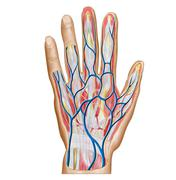 Anatomy of back of human hand. - stock illustration