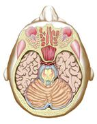 Transverse section of the midbrain. Stock Illustration