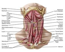 Anatomy of human hyoid bone and muscles, anterior view. Stock Illustration