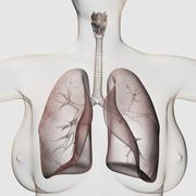 Three dimensional view of the female respiratory system. - stock illustration
