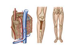 Anatomy of human bone marrow. Stock Illustration