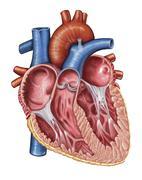 Interior of human heart. - stock illustration