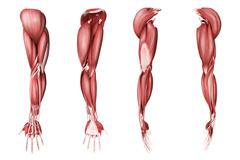 Medical illustration of human arm muscles, four side views. Stock Illustration