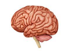 Anatomy of human brain, side view. Stock Illustration