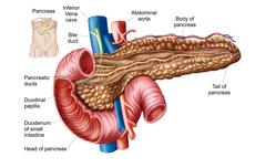 Anatomy of pancreas. - stock illustration