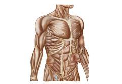 Anatomy of human abdominal muscles. - stock illustration