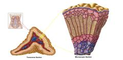 Anatomy of adrenal gland, cross section. - stock illustration