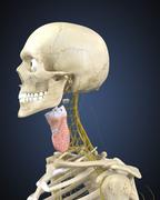 Human skeleton with nervous system and larynx organ of neck. Stock Illustration