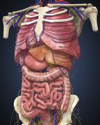 Midsection view showing internal organs of human body. Stock Illustration