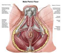 Pelvic floor of human male. Stock Illustration