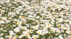 Field full of camomiles, windy Stock Footage