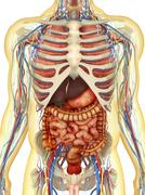 Human body with internal organs, nervous system and lymphatic system. Stock Illustration
