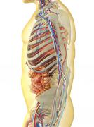 Human body with internal organs, nervous system and circulatory system. - stock illustration