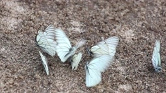 group of white butterflies(Aporia crataegi) sitting on sand and fly away - stock footage