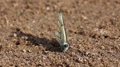 Single white butterfly(Aporia crataegi) sitting on sand and feeding Stock Footage