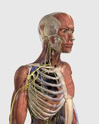 Human upper body showing muscle parts, axial skeleton, veins and nerves. Stock Illustration