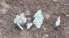Group of white butterflies(Aporia crataegi) on sand, one of them flies and comes Stock Footage