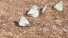Black-veined White butterflies(Aporia crataegi) sitting on sand, closeup Stock Footage
