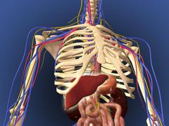 Human skeleton showing digestive system and nervous system. Stock Illustration