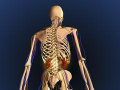Rear view of human skeleton showing kidney and nervous system. Stock Illustration