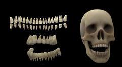 3D rendering of human teeth and skull. - stock illustration