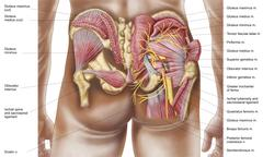 Anatomy of the gluteal muscles in the human buttocks. Stock Illustration