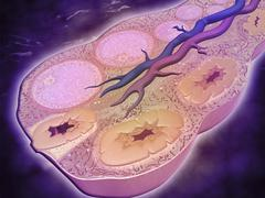 Microscopic cross section of a female ovary. - stock illustration