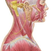 Accessory nerve view showing neck and facial muscles. - stock illustration