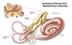 Anatomy of human ear, membranous labyrinth. Stock Illustration