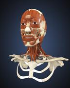 Human face with bone and muscles. - stock illustration