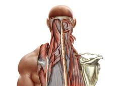 Human anatomy showing deep muscles in the neck and upper back. - stock illustration