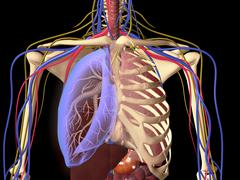 Human skeleton showing a transparent lung with surrounding rib cage. - stock illustration