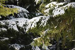 Many branch of big evergreen spruce tree with fresh white snow Stock Photos
