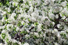 Beautiful blooming apple tree green branches in spring sunny day Stock Photos