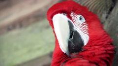 Scarlet Macaw Closeup Stock Footage