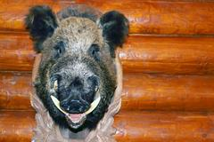 Closeup stuffed wild boar head with big fangs hanging on wooden wall log Stock Photos
