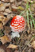 Beautiful little red fly agaric among grass in forest at autumn day. Stock Photos